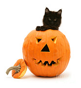 Carved Pumpkin Prints - Maine Coon Kitten Print by Jane Burton