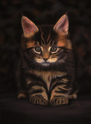 Animals Pastels Originals - Maine Coon Kitty by Sabine Lackner