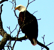 Susan Kortesmaki - Majestic Bald Eagle