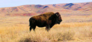 Bison Photos Posters - Majestic Buffalo in Kansas Poster by Cheryl Poland