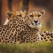 Cheetah Prints - Majestic Print by Chad Davis