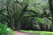 Florida Bridge Photo Originals - Majestic Fern covered Oak by Barbara Bowen