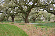 Old Trees Posters - Majestic Live Oaks in Spring Poster by Suzanne Gaff