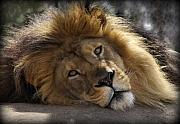 Lion Photos - Majestic Love by Linda Mishler