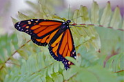 Butterfly On Fern Photo Framed Prints - Majestic Monarch Framed Print by Barbara Plattenburg
