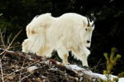 Greg Norrell - Majestic Mountain Goat