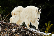 Majestic Mountain Goat Le Print by Greg Norrell