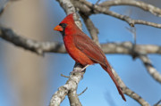 Male Northern Cardinal Posters - Majestic Mr. Redbird Poster by Bonnie Barry