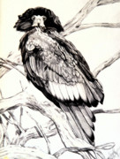 Drawing Of Eagle Drawings - Majestic Russian Stellers Sea Eagle by Cheryl Poland
