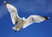 Flying Seagulls Originals - Majestic Seagull by Sheila Kay McIntyre