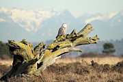 Rare Bird Of Canada Art - Majestic Snowy Owls by Pierre Leclerc