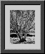 Majestic Tree  Lv Print by Daryl Macintyre
