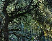 Garden Landscape Photo Posters - Majestic Weeping Willow Poster by Marion McCristall