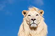 Outdoor Portrait Framed Prints - Majestic White Lion Framed Print by Sarah Cheriton-Jones