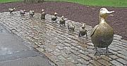 Cobblestones Photos - Make way for ducklings by Barbara McDevitt