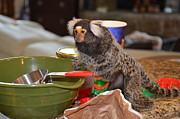 """chewy The Marmoset"" Digital Art - Making Cookies Chewy The Marmoset by Barry R Jones Jr"
