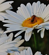 Lightning Bugs Prints - Making Daisies Print by Joy Bradley                   DiNardo Designs