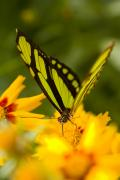 Malachite Butterfly On Flower Print by Craig Tuttle