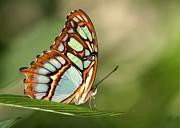 Malachite Butterfly Print by Sabrina L Ryan