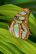 Green Day Framed Prints - Malachite Butterfly (siproeta Stelenes) On Rhapis Palm Leaves (rhapis Excelsa) Framed Print by Darrell Gulin