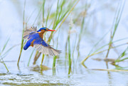 Bird Digital Art Posters - Malachite Kingfisher Dive Poster by Basie Van Zyl