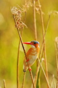 Stalk Originals - Malachite Kingfisher by Tom Cheatham