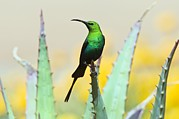 Sunbird Framed Prints - Malachite Sunbird Male Framed Print by Peter Chadwick