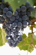 Malbec Metal Prints - Malbec Grapes On The Vine Metal Print by Peter Langer