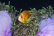 Animal Behaviour Art - Maldive Anemonefish In Magnificent by Reinhard Dirscherl