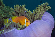 Featured Acrylic Prints - Maldive Anemonefish On Magnificent Sea Acrylic Print by Reinhard Dirscherl