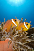 Featured Art - Maldive Anemonefish Pair On Anemone by Reinhard Dirscherl