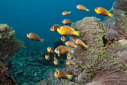 Featured Art - Maldive Anemonefish School At Sea by Reinhard Dirscherl
