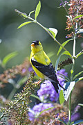 Goldfinch Framed Prints - Male American Goldfinch Framed Print by Rob Travis
