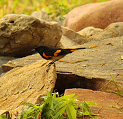 Wildlife Genre Prints - Male American Redstart On The Rocks Print by Roena King