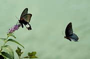 Papilio Memnon Prints - Male and female Great Mormon butterflies hovering over a wildflower Print by Sami Sarkis