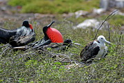 Male And Juvenile Great Frigate Bird Print by Sami Sarkis