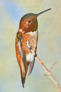 Photo . Portrait Posters - Male Arizona Rufous Hummingbird Poster by Steven Love