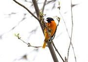 Baltimore Oriole Framed Prints - Male Baltimore Oriole eying an insect. Framed Print by Michel Soucy