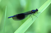 Damsel Fly Photos - Male Banded Damselfly by Dr Keith Wheeler