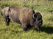 Male Bison Grazing  Print by Paul Cannon
