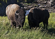 American Bison Originals - Male Bison with his Female Partner by Paul Cannon
