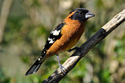 Blackheaded Art - Male Black Headed Grosbeak Spring by Laura Mountainspring
