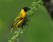 Canary Yellow Prints - Male Black-headed Weaver Print by Tony Beck