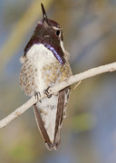Tucson Art - Male Blackchin Hummingbird by Steven Love