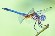 Dragonfly Macro Photos - Male Blue Dasher Dragonfly by Bonnie Barry
