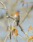Bird Watcher Posters - Male Bluebird In Budding Tree Poster by Robert Frederick