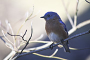 Bluebird Metal Prints - Male Bluebird in Shade Metal Print by Teresa Mucha