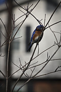 Bluebird Metal Prints - Male Bluebird on Dogwood Metal Print by Teresa Mucha