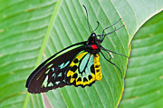Cairns Prints - Male Cairns-Birdwing Butterfly Print by Chris Thaxter