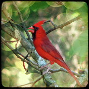 Red Birds Posters - Male Cardinal Poster by Amy Tyler